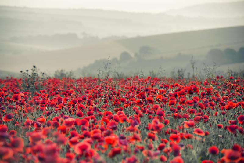 Poppy field landscape in Summer countryside sunrise with differential focus and shallow depth of field royalty free stock photo