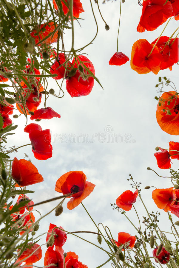 Poppy field from low angle