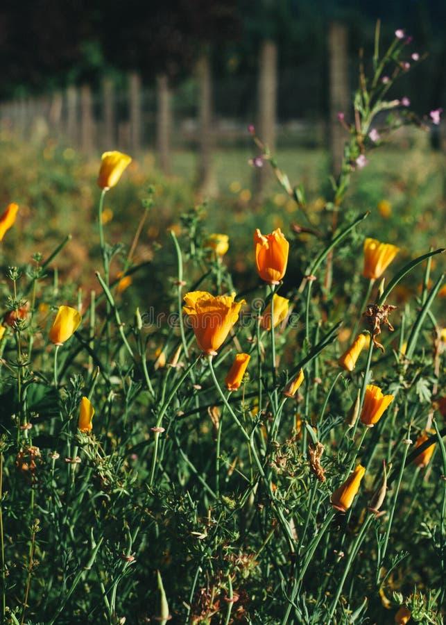 Poppy Field lungo il recinto fotografie stock libere da diritti