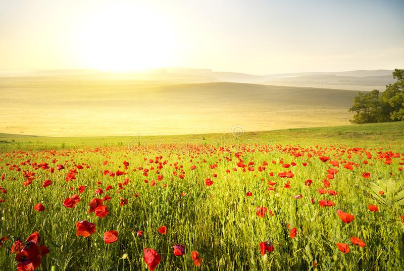 Poppy field in the mountains royalty free stock photo