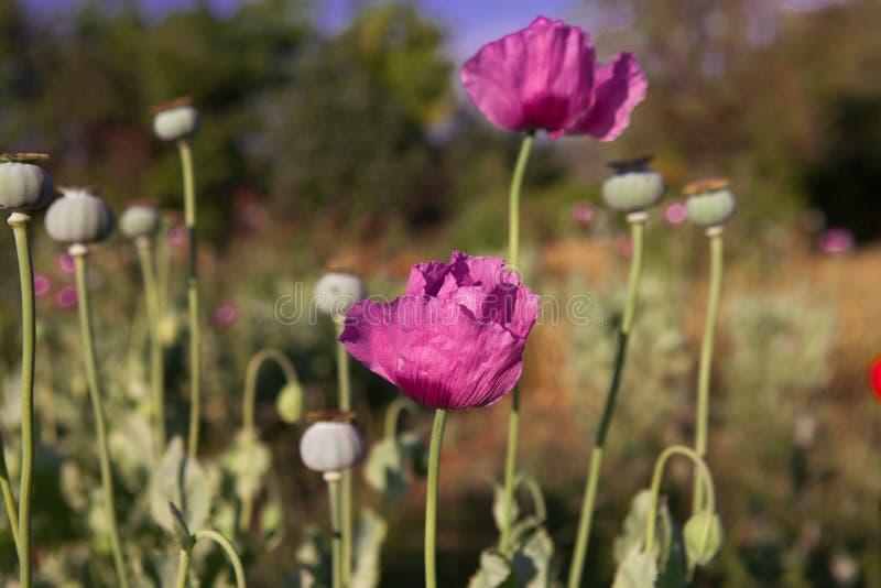 Opium Poppy stock photo