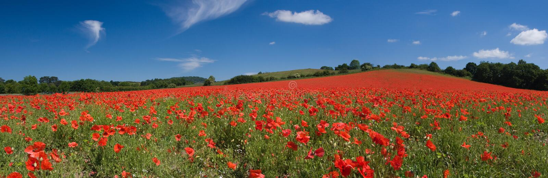 Poppy field panorama stock image