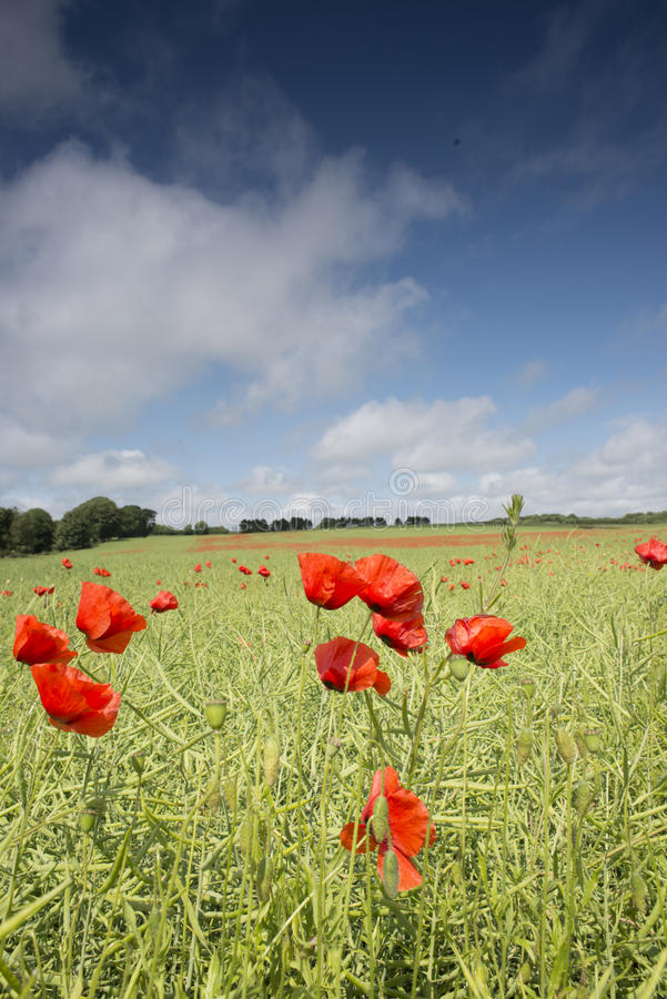 Download Poppy field stock photo. Image of meadow, poppy, nature - 40471730