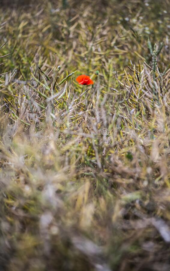 A poppy in a field royalty free stock image