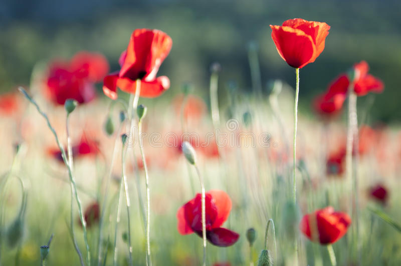 Poppy field in the south of France. Focus on one single poppy in a field of poppies in the south of France, provence royalty free stock photography