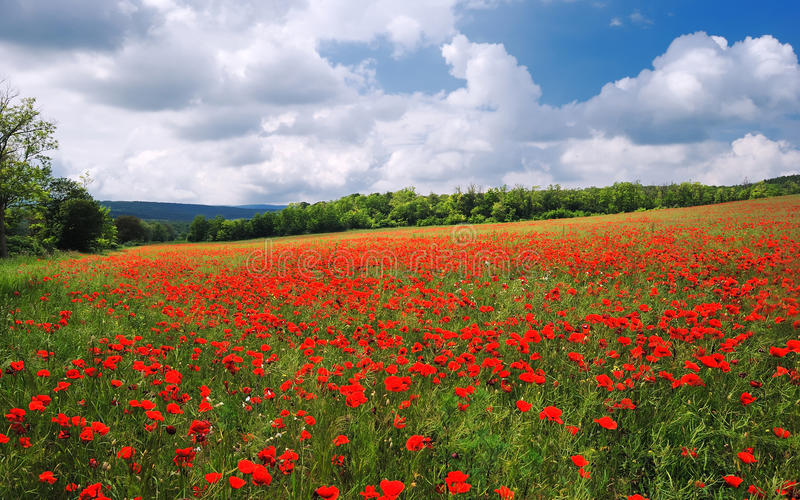 Poppy field in the summer with blue cloudy sky stock photography