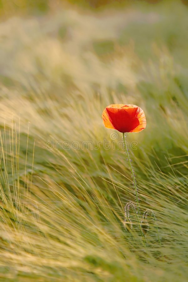 Poppy on a field at sunrise in autumn royalty free stock photos