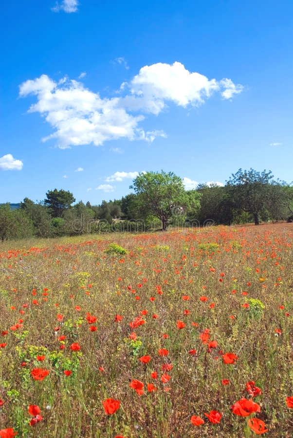 Download Poppy field vertical stock image. Image of green, flower - 4939741