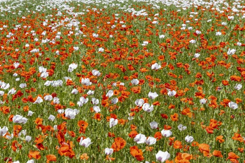 Poppy field, Vysoocina near Zdar nad Sazavou, Czech Republic. Vysocina, white, landmark, countryside, wildflower, sun, plateau, summery, flowers, organic, farm stock images