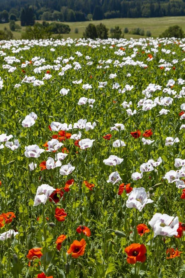 Poppy field, Vysoocina near Zdar nad Sazavou, Czech Republic. Vysocina, white, landmark, countryside, wildflower, sun, plateau, summery, flowers, organic, farm stock photos