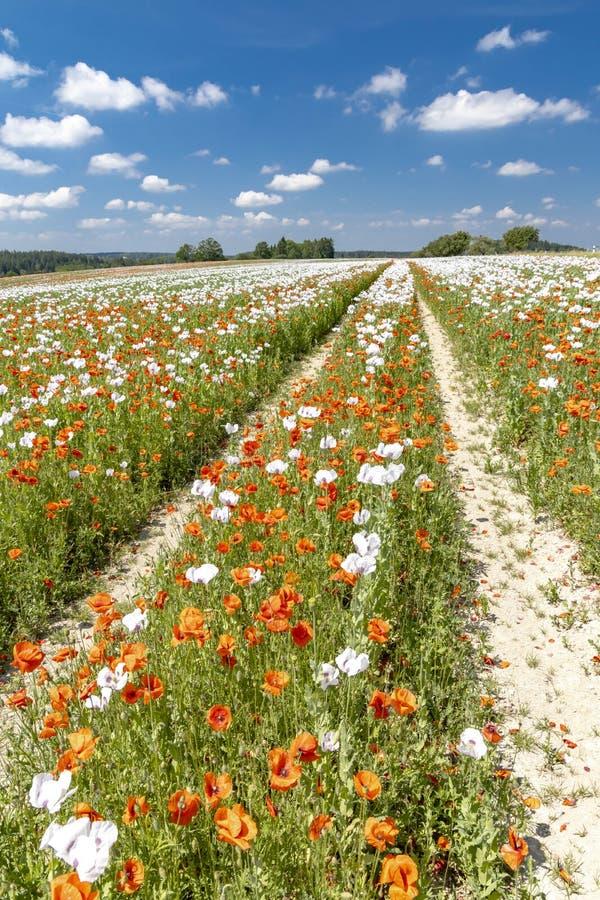 Poppy field, Vysoocina near Zdar nad Sazavou, Czech Republic. Vysocina, white, landmark, countryside, wildflower, sun, plateau, summery, flowers, organic, farm royalty free stock images