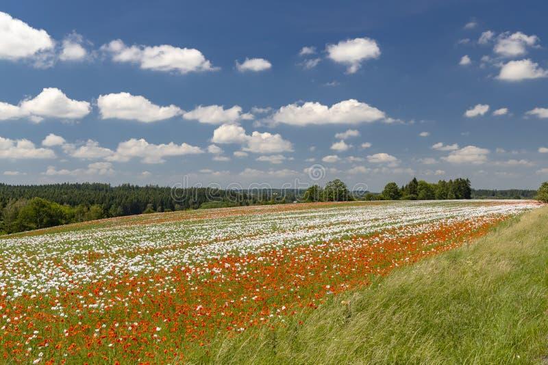 Poppy field, Vysoocina near Zdar nad Sazavou, Czech Republic. Vysocina, white, landmark, countryside, wildflower, sun, plateau, summery, flowers, organic, farm stock image
