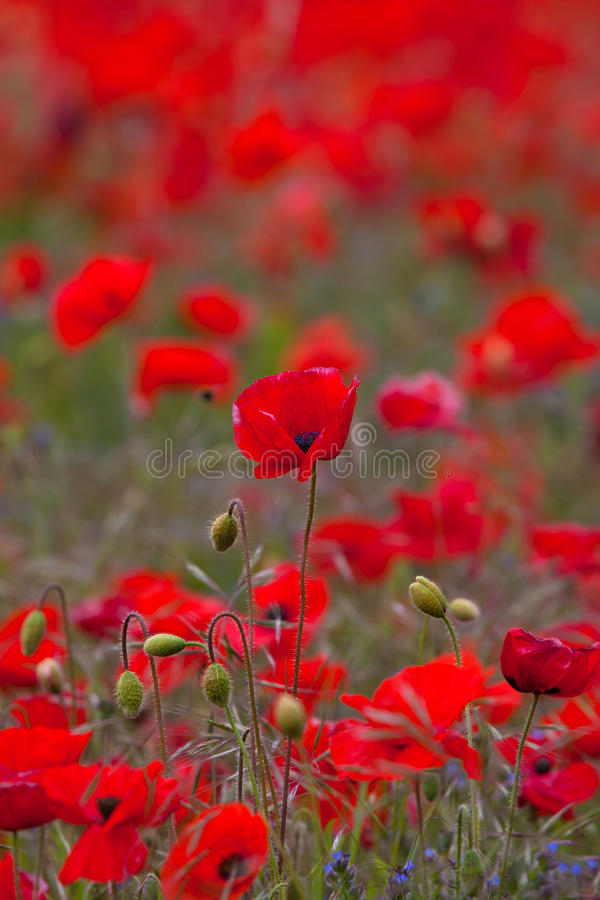 Download Poppy field at Warkworth stock photo. Image of northumberland - 14852422