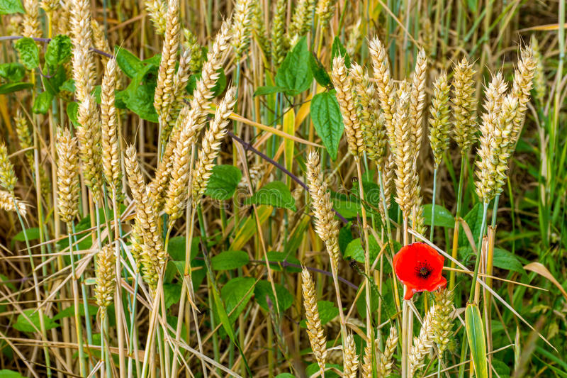 A poppy in field of wheat stock images