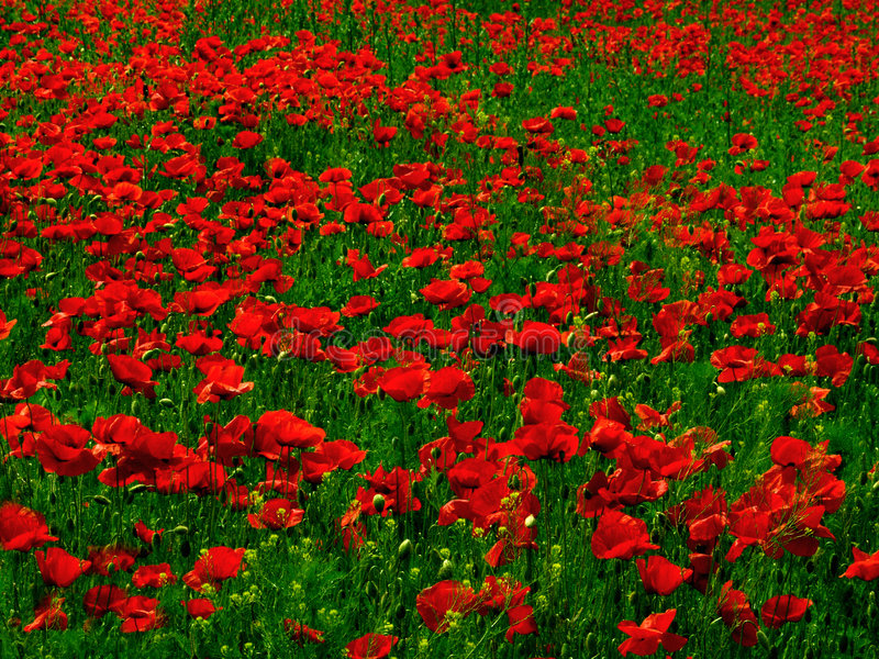 Download Poppy fields stock photo. Image of many, poppies, grass - 28838