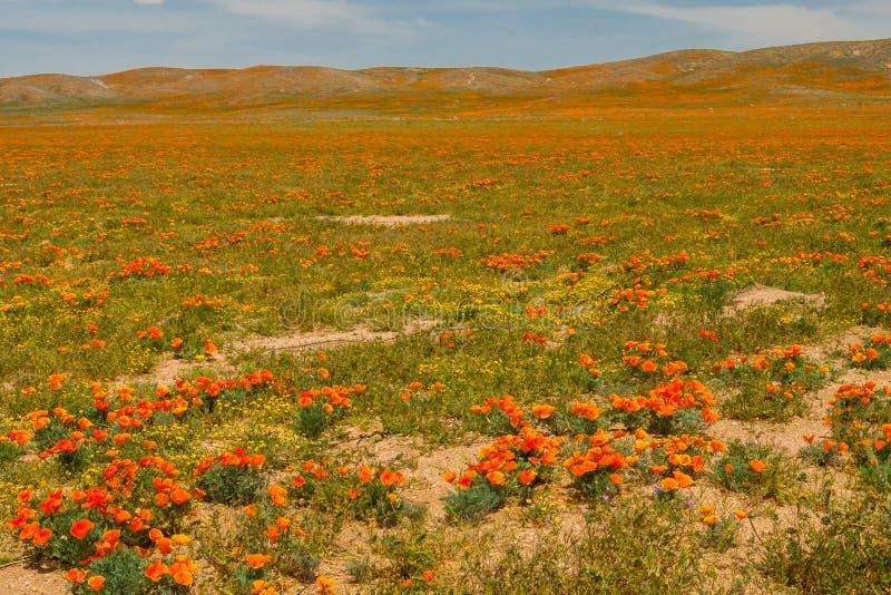 Poppy Fields foto de archivo libre de regalías