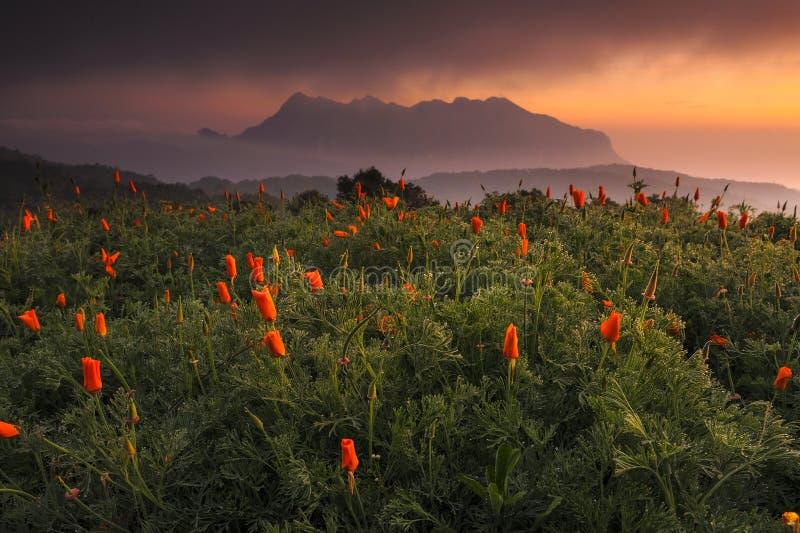 Poppy Fields, chiangmai, Tailândia fotos de stock royalty free