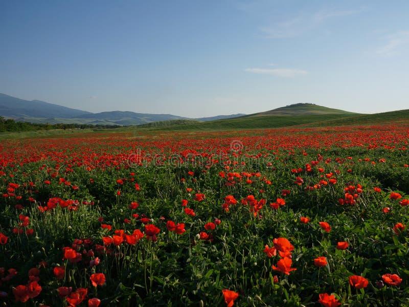 Poppy fields near Pienza under the blue skies stock image
