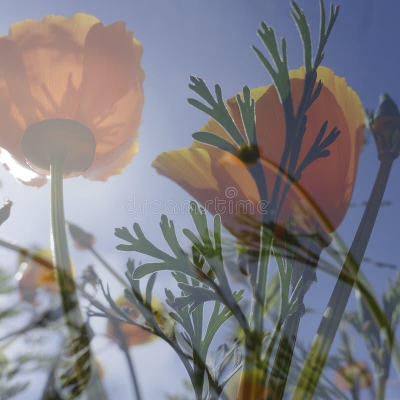 Poppy_00302_A - fleurs et ciel bleu profond photographie stock