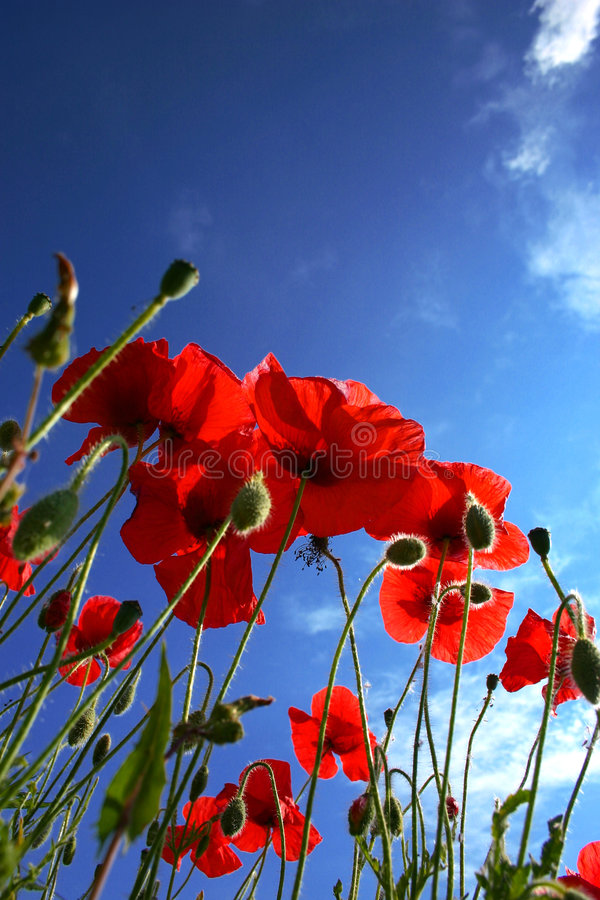 Free Poppy Flower Royalty Free Stock Photos - 1699358