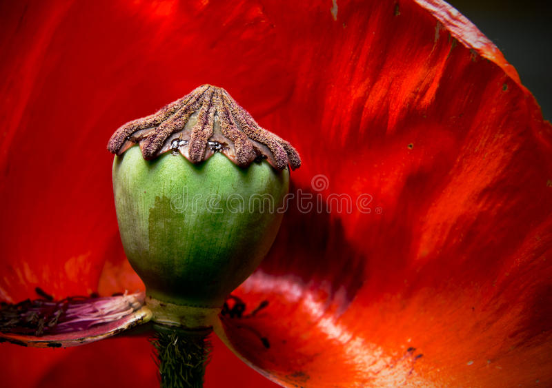 Poppy flower. stock photography