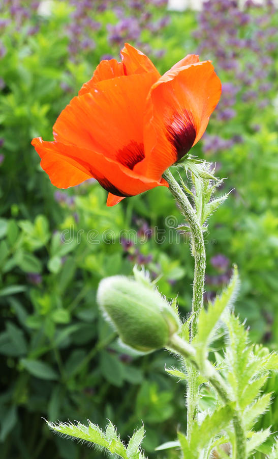 Download Poppy flower stock photo. Image of petal, rural, european - 24931416