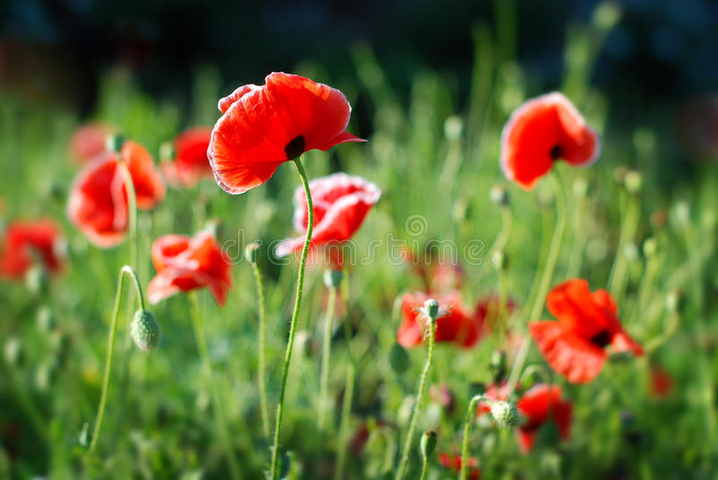 Download Poppy flower stock image. Image of wallpaper, grass, herb - 25025729
