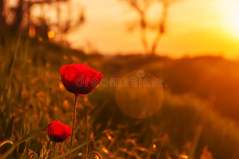 Poppy flower. On the beach in the early spring morning. Warm sunlight royalty free stock photos