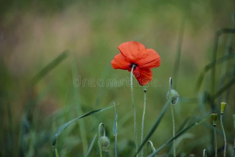 Poppy flower. Beautiful single flower head. Poppy flowers field nature spring background stock photography