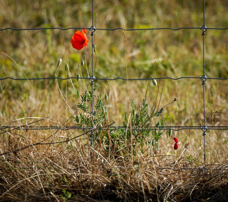 Poppy flower next to fence stock images