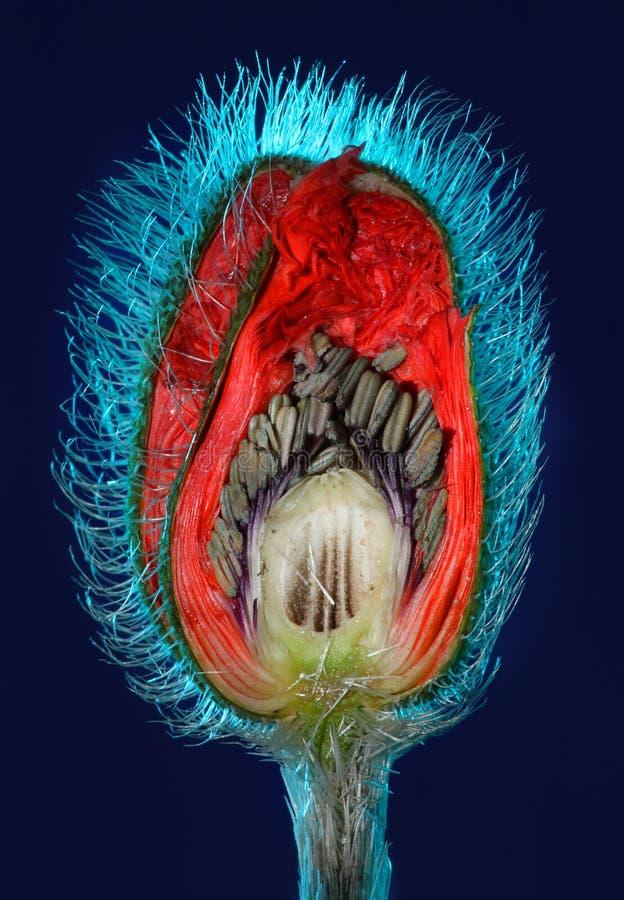 Poppy flower bud cut in half stock images
