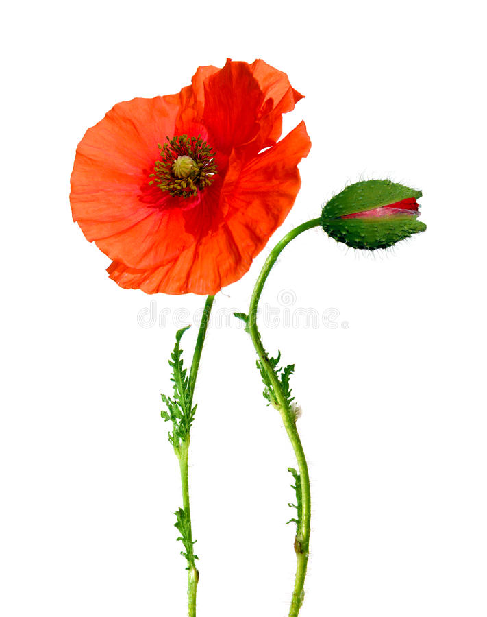 Poppy flower and bud isolated on white royalty free stock photos