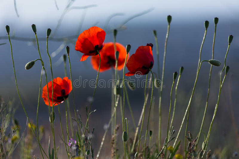 Poppy flower at cappadocia turkey stock image image of erosion cappadocia this photo was shot from cappadocia which located in the center of turkey cappadocia is an ancient region of anatolia mightylinksfo