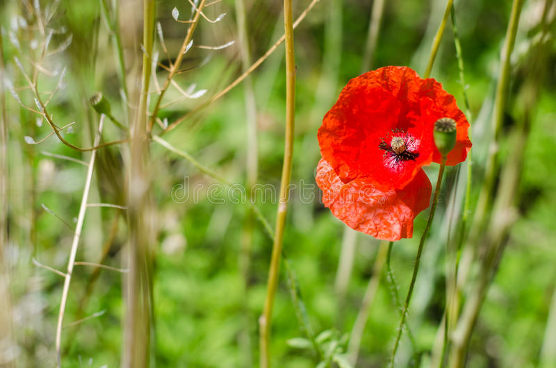 Poppy flower close-up stock images