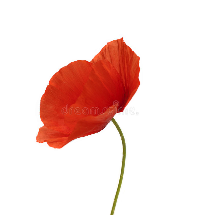 Download Poppy flower stock image. Image of single, scented, stamen - 31235301