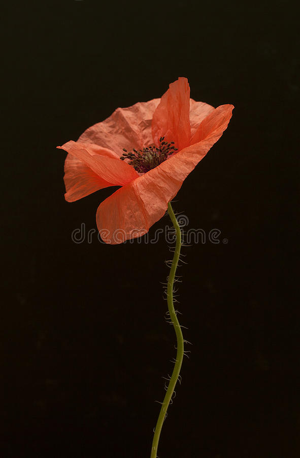 Download Poppy Flower Stock Photos - Image: 31706353