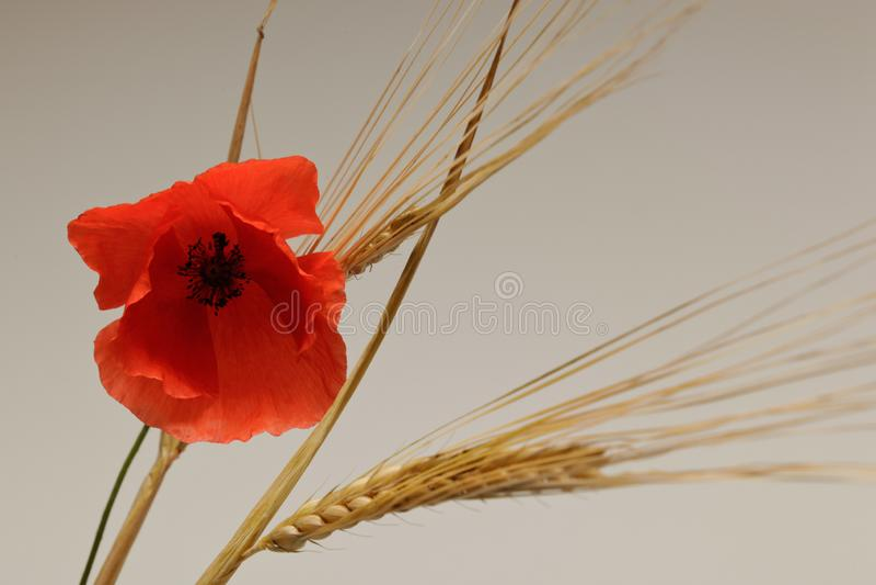 Poppy flower among ears of ripe wheat stock image