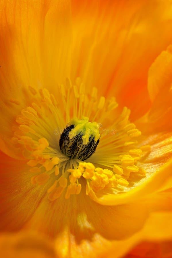 Poppy Flower en pleine floraison image stock