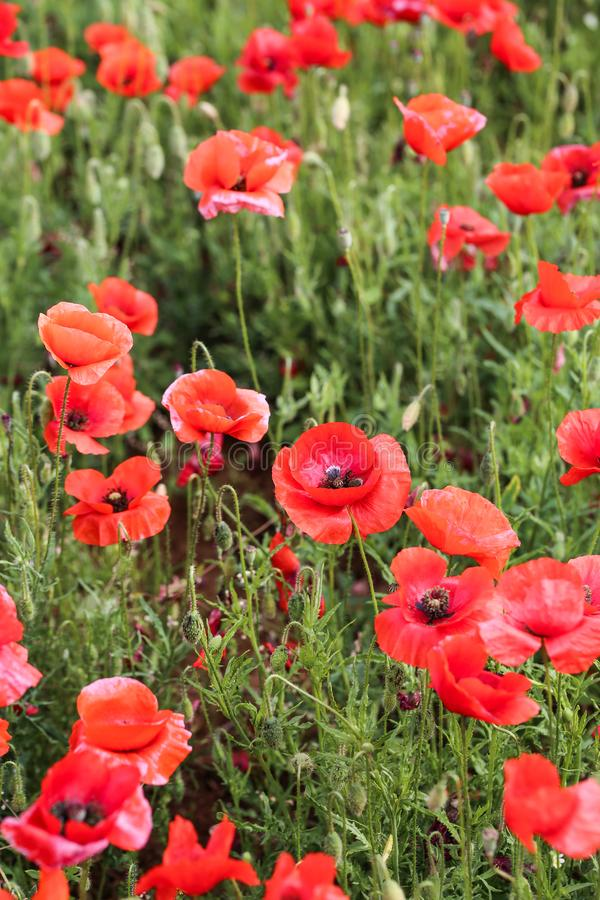 Poppy Flower Field immagine stock