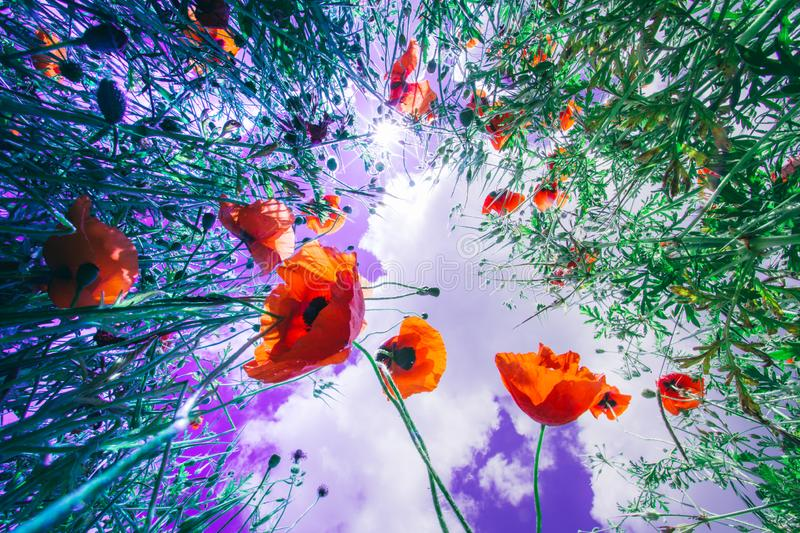 Poppy flower in a field in neon colors. stock photography
