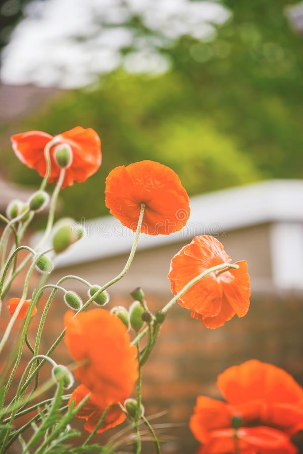 Poppy Flower floreciente en los faros de Brecon en el Sur de Gales Reino Unido fotografía de archivo