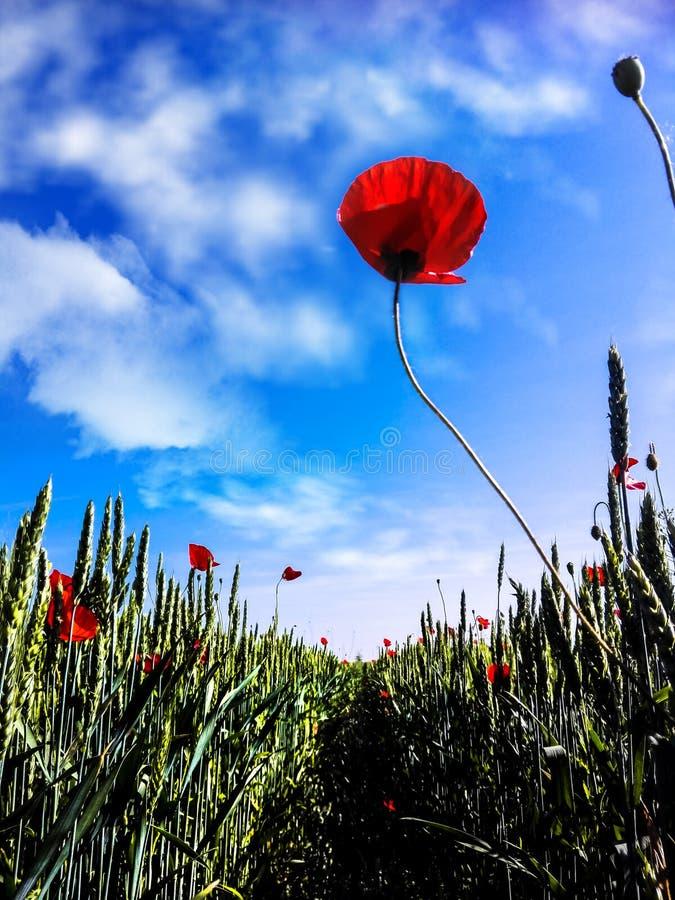 Poppy flower in wheat field royalty free stock image