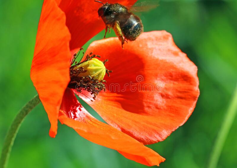 Poppy flower with flying  bee. royalty free stock photography