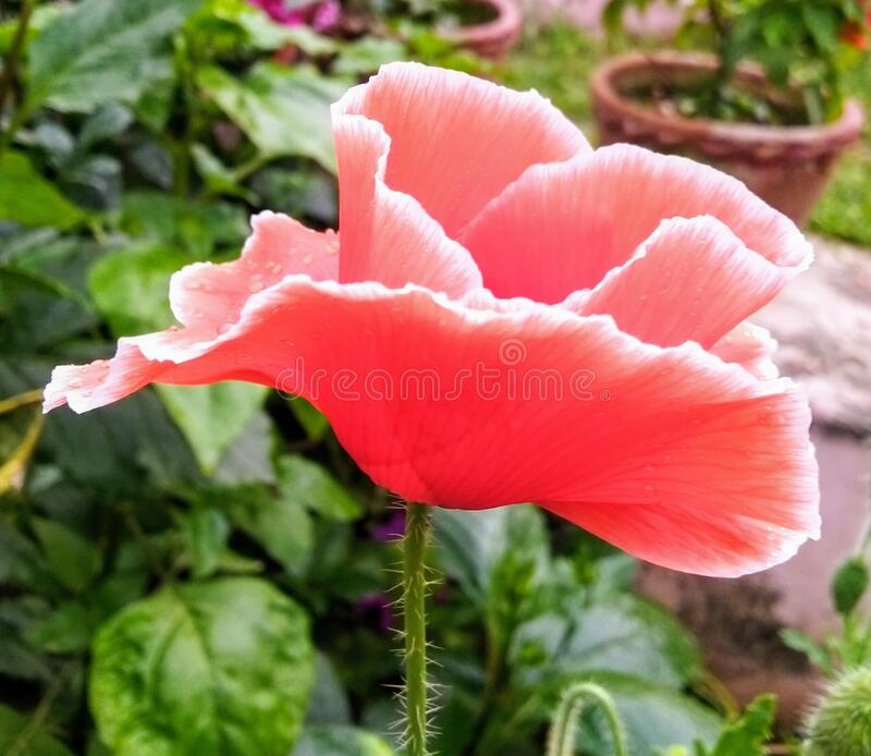 Poppy flower in garden royalty free stock image