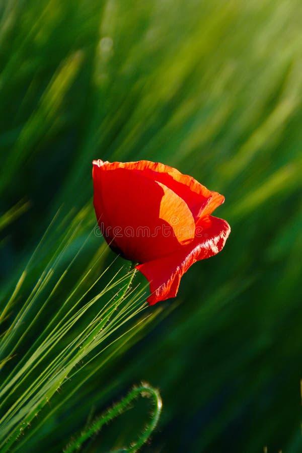 Poppy Flower In Green Barley fält arkivfoton