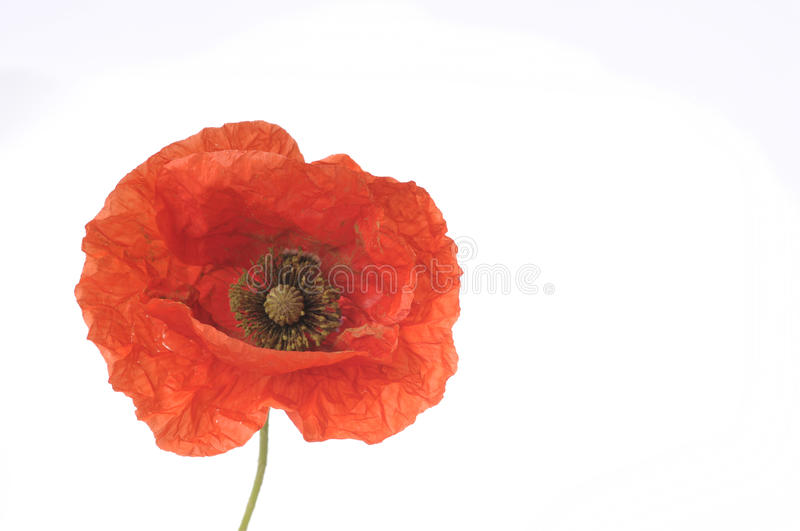 Download Poppy Flower Royalty Free Stock Photos - Image: 33343988