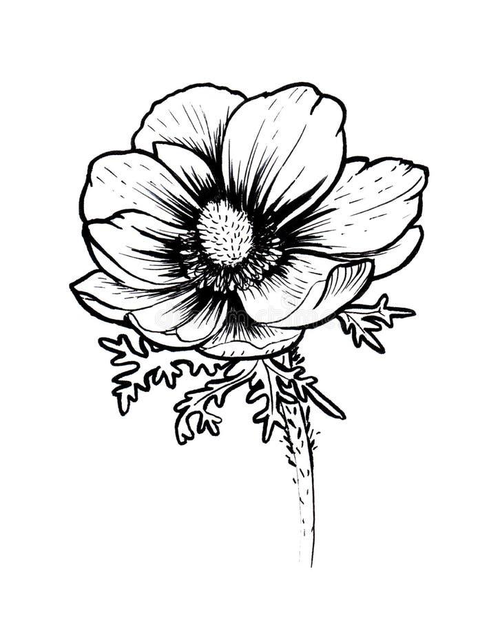 Ink poppy flower line graphic sketch royalty free illustration