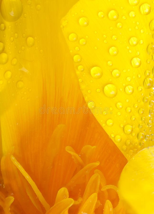 Poppy flower macro with beautiful water drops. Yellow and orange poppy flower head super close up of stamen and water drops with a large puddle of water and royalty free stock photography