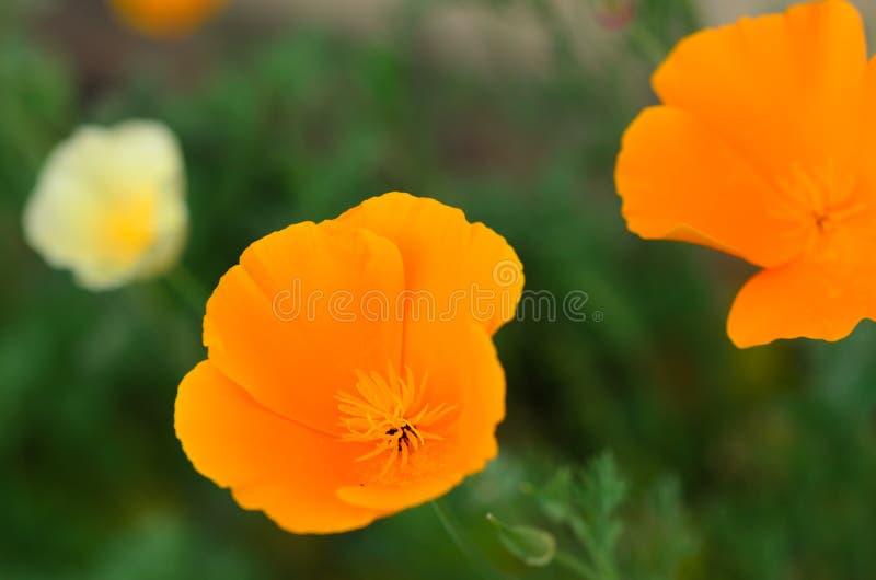 Poppy flower macro. Macro of poppy flower with stamen stock photography