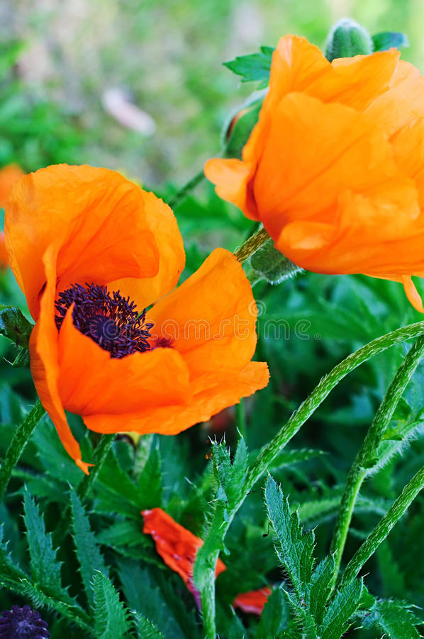 Download Poppy flower stock photo. Image of farm, grass, blossom - 41938840